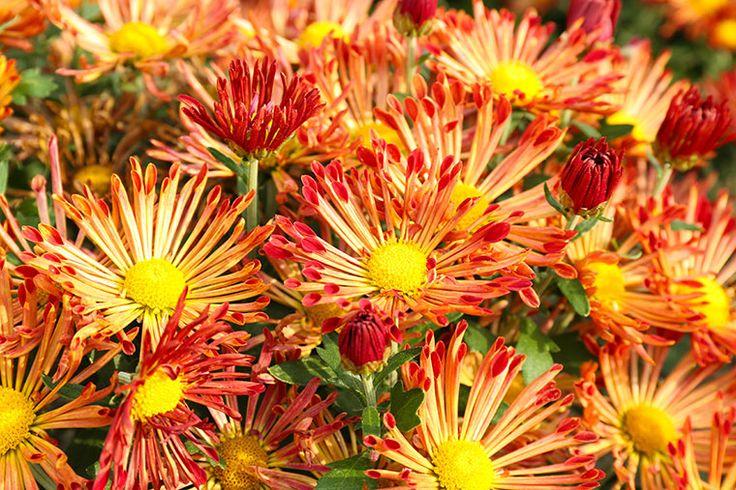 Diese Pflanzen blühen auch im Herbst! #Herbstblüher #Winterfest #Blumen #Blüten