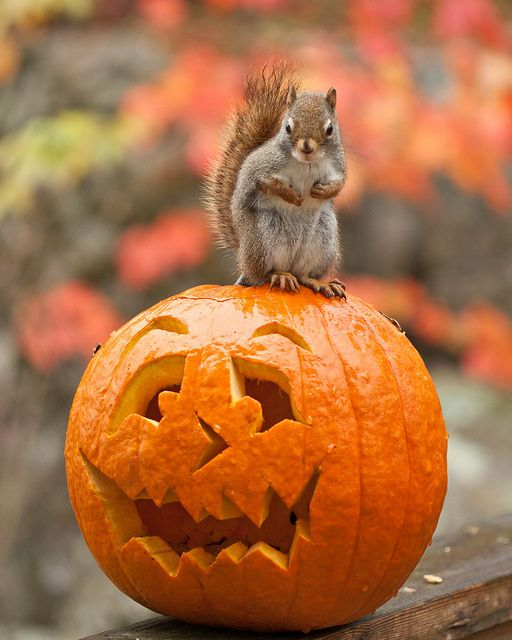 Trick or Treat. Squirrel looks like it's getting ready to fight, little paws curled up like that!