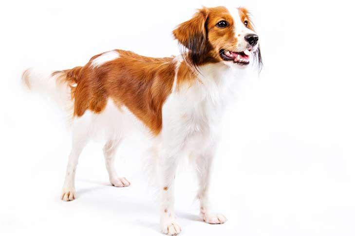 Nederlandse Kooikerhondje Dog Breed Information Akc Breeds Dog