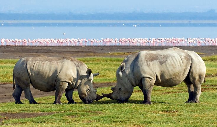 ... Kenya Safari Holidays. Rhinos a Lake Nakuru National Park, Kenya tour