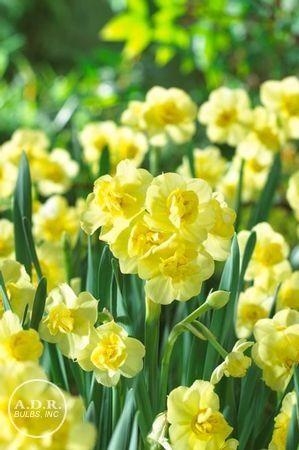 Narcissi bunch flowering 'Yellow Cheerfulness' Daffodil