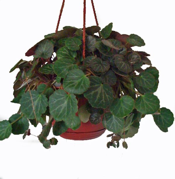 Hanging HousePlants: The Strawberry Begonia Plant Is Neither A Begonia Nor  Strawberry Plant. It Part 59