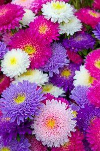 Die Sommeraster gehört zu den am häufigsten im Blumenbeet vertretenen Blumenarten in unserer Gegend. Diese farbenfrohen Blumen sehen aus wie große Gänseblümchen und sind in vielen verschiedenen Farben erhältlich. Sommerastern gehören zu den Spätblühern im Sommer, denn sie erfreuen das Auge erst im Juli mit ihrer Farbenpracht. Wenn sie jedoch im Juli ihre Blüten öffnen,