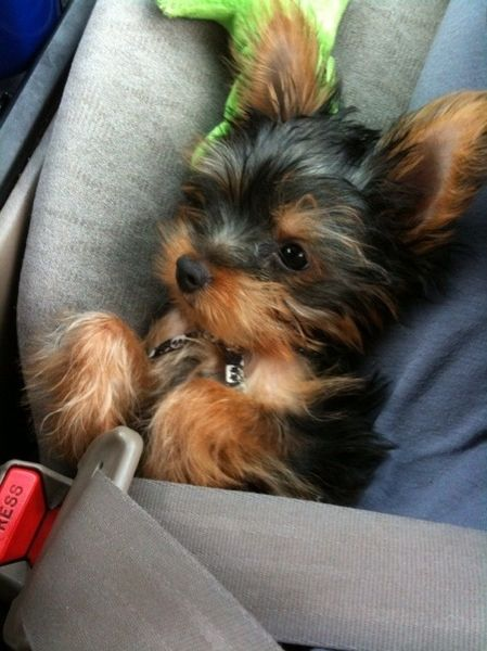 Baby buckled inCar Seats, First Baby, Dog Lovers, Dogs Lovers, Cute Baby Yorkie Puppies, Safety First, Yorkshire Terriers, Cars Seats, Animal