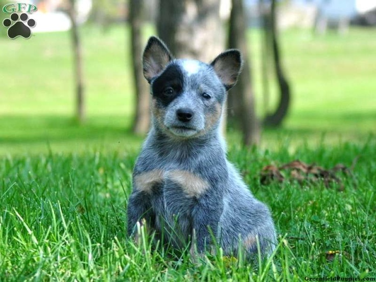 Blue Tick Heeler Dog Breed