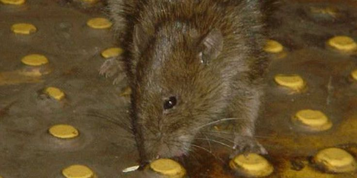 Scientists Analyzed The Pathogens In New York City's Rats — And The Results Are Even Grosser Than Expected