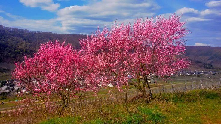 #spring #springtime #best #mosel #bruttigfankel #hiking#hikingtrail #kirschblüten #landscape #landscaping #landscapephotography #travelpic #travelers #instatraveling #instagood #wohnmobiltour #trees#rheinlandpfalz #germany#deutschland # Moselhöhenweg bei Bruttig Fankel...märz 2016