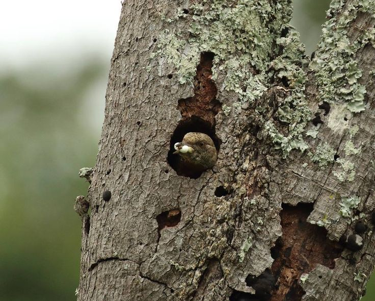 With a juicy grub in its beak, a Red-Throated Wryneck peeps out of a hole in a rotten tree-trunk. This is a close relation of the Woodpecker family