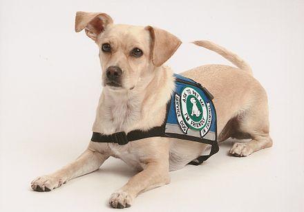 Psychiatric Service Dog For Adhd