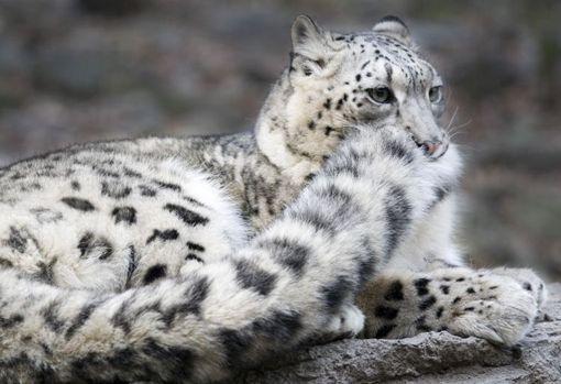 LOS 10 ANIMALES EN PELIGRO DE EXTINCIÓN DEL 2012 -LEOPARDO DE LAS NIEVES