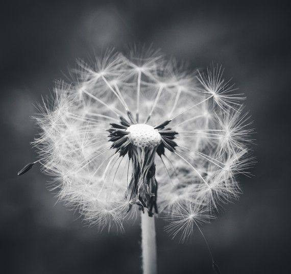 Dandelion Black and White Photography Photo Print.
