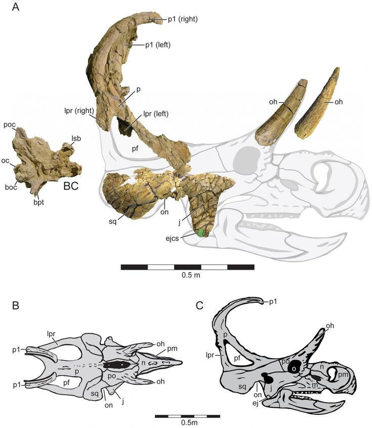 A new horned dinosaur discovered in Utah had two spikes projecting from the back of its neck shield, according to a study published May 18, 2016, in the open-access journal PLOS ONE by Eric Lund from the Ohio University Heritage College of Osteopathic Medicine, US, and colleagues.