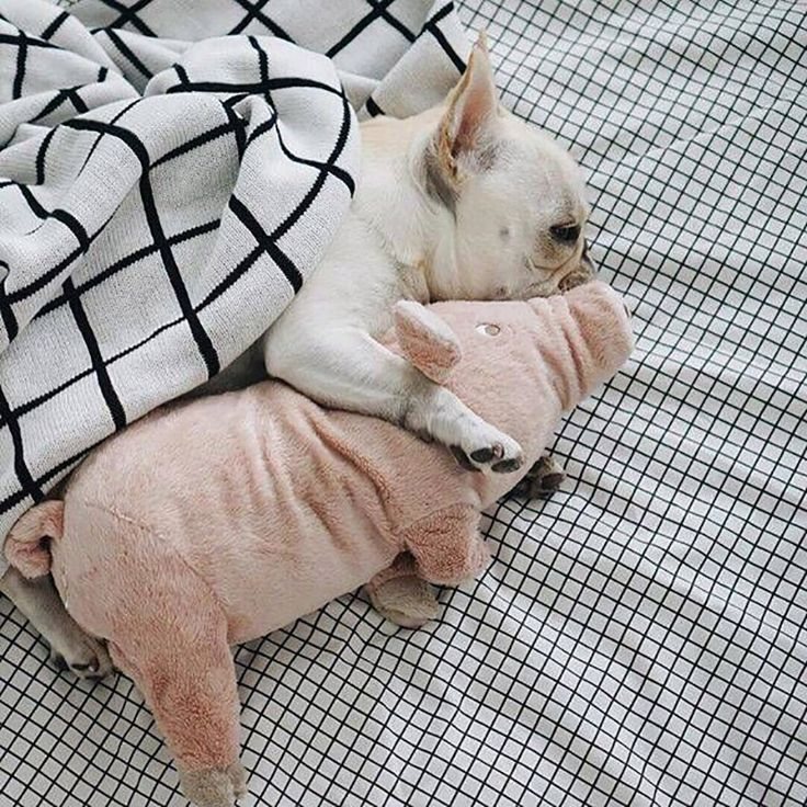 Four feet plush pig toy is ideal sleeping partner for your bulldog!
