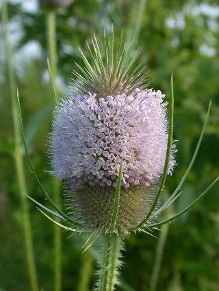 If you or someone you know suffers from Lyme disease, TEASEL ROOT can help!
