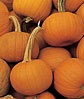 Pumpkin, Small Sugar-Heirloom-  Burpee Seeds