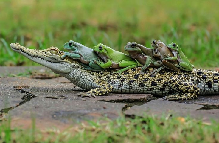 A group of frogs hitched a lift on a passing crocodile. The multi-coloured group of five amphibians appeared to thumb down a passing croc after getting tired on a long hop.