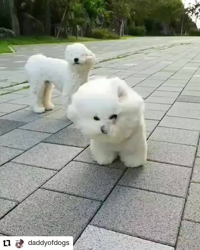 So What I Love The Feeling Of The Fresh Air On My Face And The Wind Blowing Through My Hair Video Funny Dogs Bichon Frise Dogs Cute Dogs