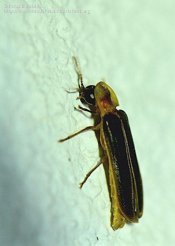 Nombre científico: Nyctophila reichii, Descripción: macho. Subo una segunda foto de otro ejemplar, próximo a él., Provincia/Distrito: Teruel, País: España, Fecha: 09/07/2016, Autor/a: Patxi Establés, Id: 817643