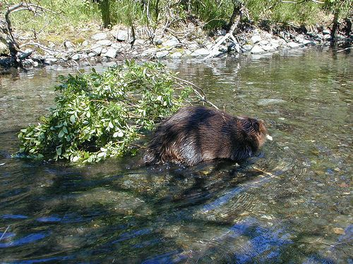 Have you checked out the live news feed of the beavers on Steep Creek in Juneau? Hundreds of viewers have tuned into their live video feed on the U.S. Forest Service YouTube channel and are watching the beavers' every move. http://blogs.usda.gov/…/alaska-beavers-entertain-web-cam-v…/