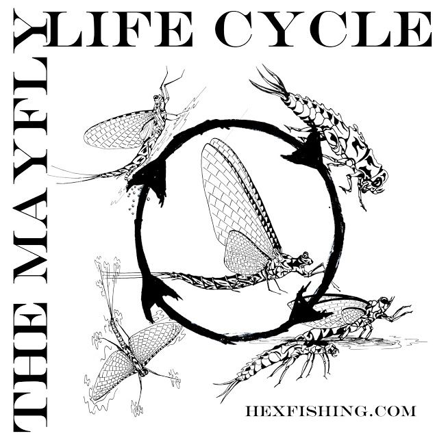 a year on the fly fly friday illustrating the mayfly life cycle
