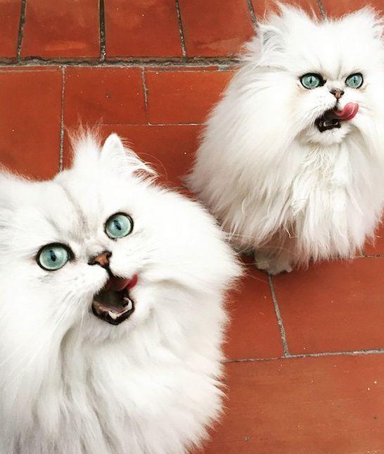 Best Cat Brush For Siberian Cat
