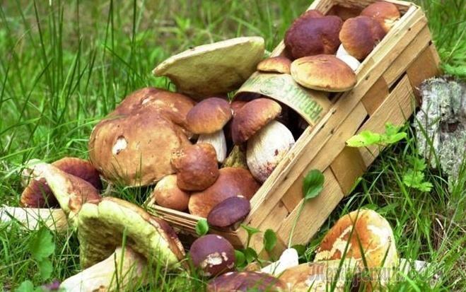 Вы любите грибы, но вам некогда их собирать? Не страшно, займитесь разведением грибов на даче самостоятельно. Главное знать, как правильно это сделать, чтобы получить гарантированный урожай. Выращиван...