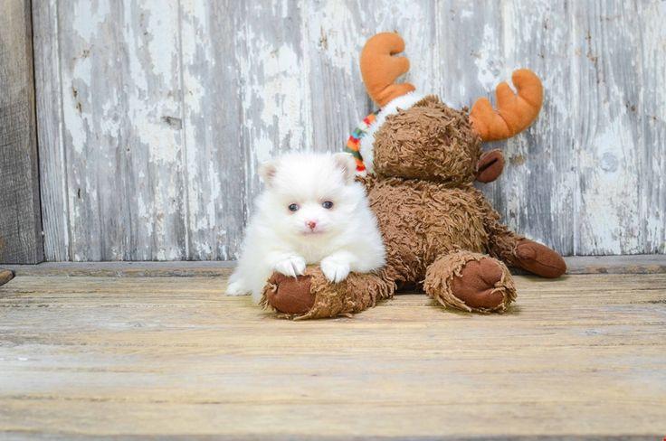 TEACUP POMERANIAN PUPPY - 8 week old Pomeranian for sale