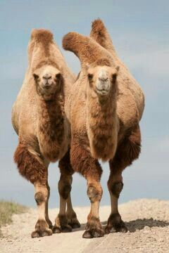 Bactrian Camels | These camels have shaggy fur and two humps to help them cope with the temperature extremes of the Gobi desert and surrounding grasslands.