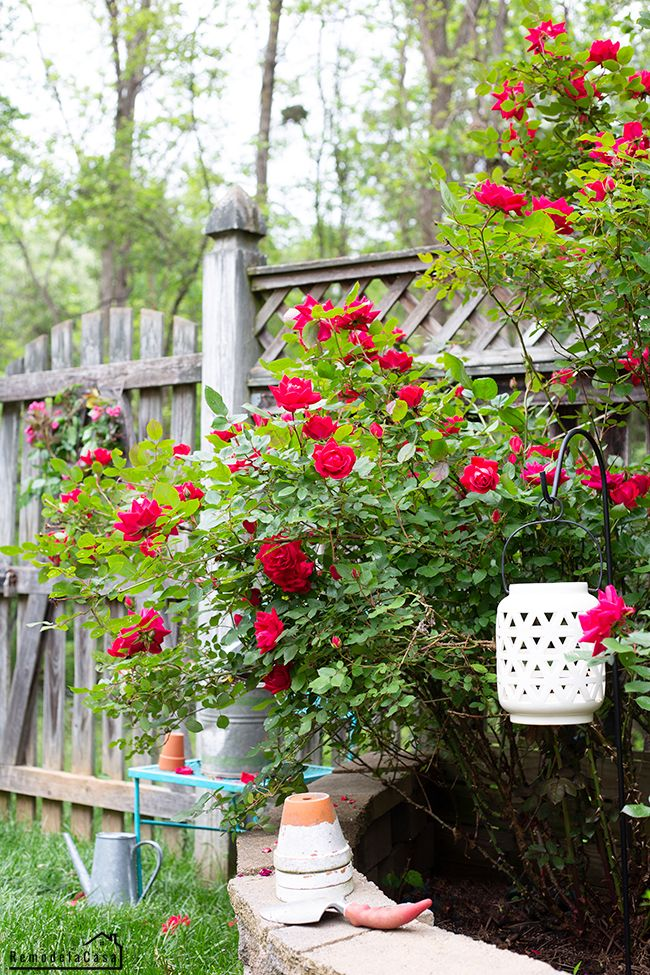 The Knock Out Roses Are In Full Bloom In 2020 Cottage Garden Design Cottage Garden Plan Cottage Garden Plants