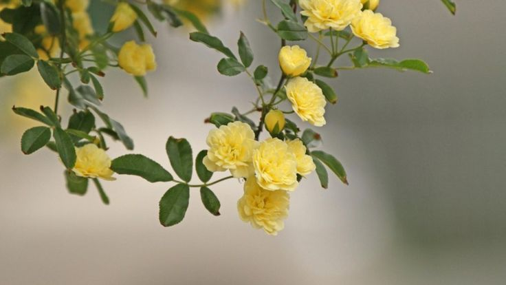 Roses 230
