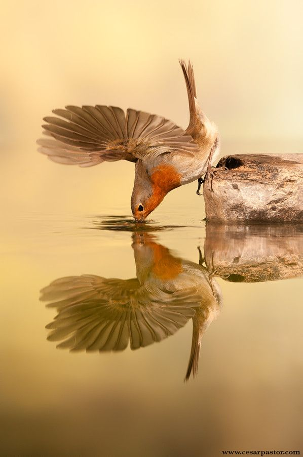Petirrojo by bird photographer cesar pastor quesada on 500px.  European Robin drinking; reflected in water.