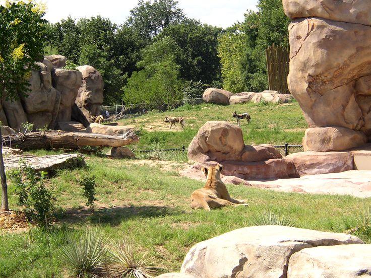 San Diego Zoo Exhibits Africa Rocks Big Cats Exhibit