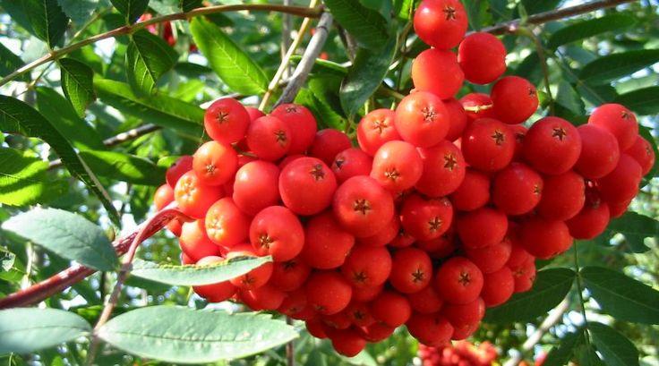 Größere Mengen der Eberesche solltest du besser nicht roh essen, dennoch ist es eine kostbare und sehr hilfreiche Pflanze. So kannst du sie nutzen! - Bild von Krzysztof P. Jasiutowicz CC BY-SA 3.0