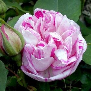 'Honorine de Brabant' est un bel arbuste à l'ample feuillage vert clair, résistant bien aux maladies. Ses fleurs parfumées sont doubles, en coupe et en quartiers, rose tendre, tachetées et striées de lilas et de violet. Légère remontée. Bourbon. Obtenteur inconnu, 1900.                                                                           1840