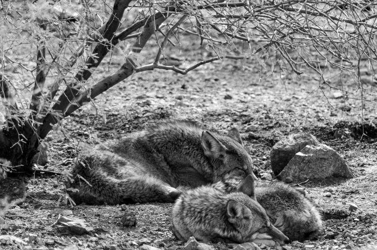 Coyotes en noir et blanc