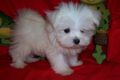 Maltipoo puppies for s...