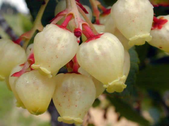 Flor del Madroño - http://www.floresyplantas.net/flores-plantas/flores-de-invierno/