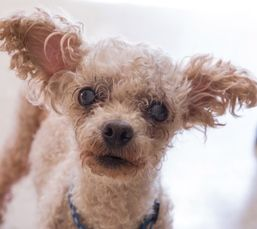 Cute Muttville mutt: Cher 2167 (Toy poodle | Size: toy (under 6 lbs)) precious snuggle bug!