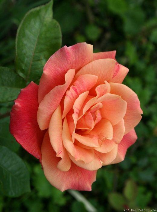 Hybrid Tea Rose: Rosa 'Autumn'