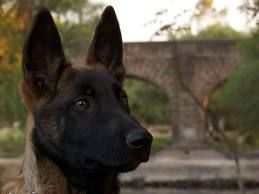 Belgian Malinois =) We have had Mals for 14 years! Love our Gus, Jack, and Toby!