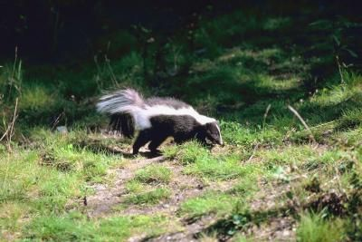 how to get rid of skunk spray in the house