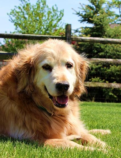 """""""GRANDMADEE""""...Golden Retriever Rescue Resource-Golden Retrievers for adoption"""