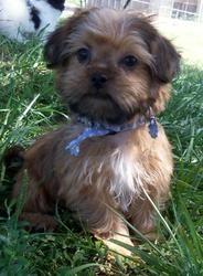 Twix Is An Adoptable Shih Tzu Dog In Oak Grove Mo Twix Is A