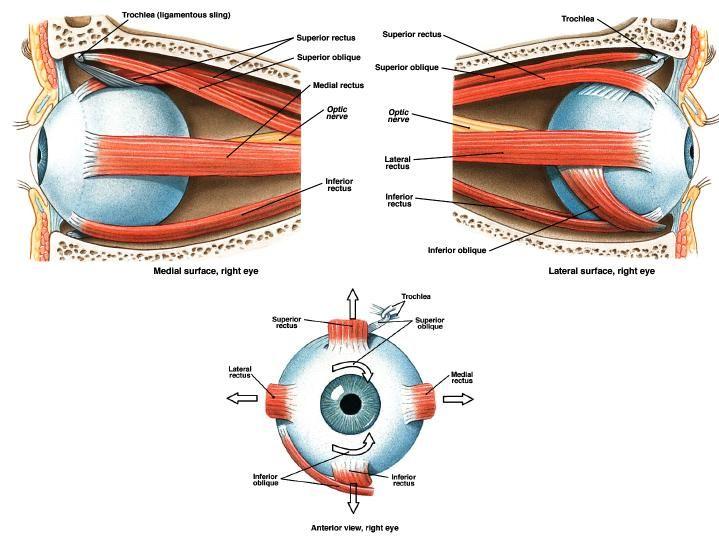 Rotation Anatomy Superior rectus – el...