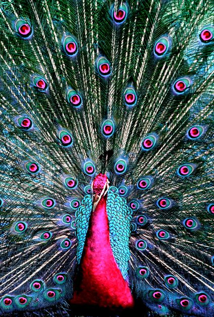 Peacock <3 i think ill own one or five some day