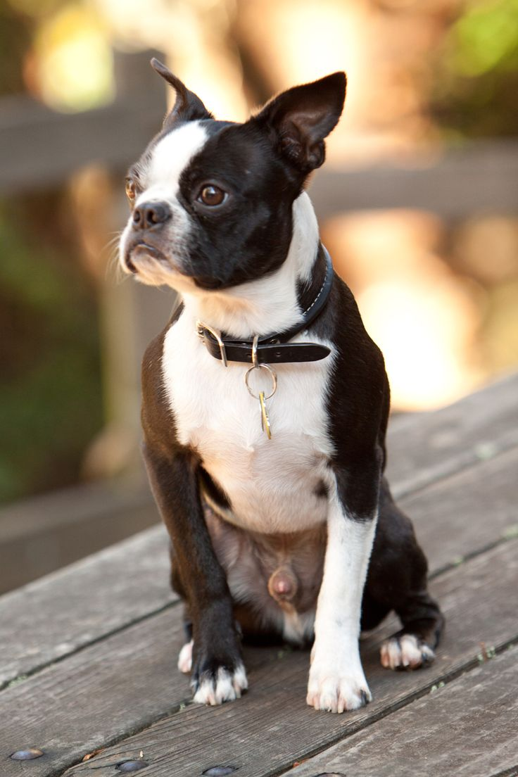Bandit the Boston Terrier
