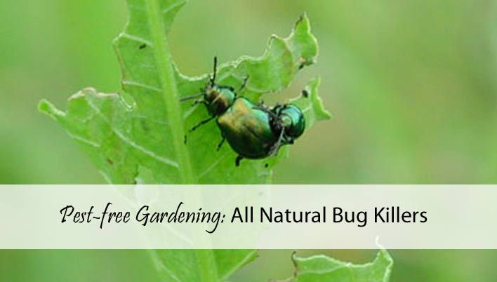Pest-free Gardening: All Natural Bug Killers