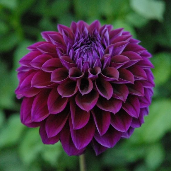 Beautiful Unique Flowers: 53 Best Dahlias Images On Pinterest