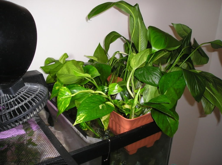 Aquaponics Growing Peace Lily Flower In The Top Of Tank