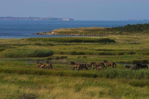 Wild Horses in Langeland